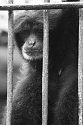 Ape Photo Originals - Ape in Cage by Rio Wirawan