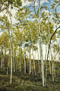 Forest Prints - Aspen trees in Spring  Print by Priska Wettstein