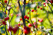 Hawthorn Prints - Autumn Berries  Print by Stylianos Kleanthous