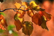 Canon 7d Prints - Autumn Leaves Print by Donna Kennedy