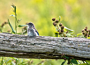 Birds. Thorns Prints - Baby Bluebird Print by Cheryl Baxter