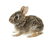Soft Fur Photos - Baby cottontail bunny rabbit by Elena Elisseeva