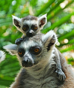 Margaret Saheed Prints - Baby Lemur Views The World Print by Margaret Saheed