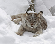 Baby Lynx On A Lazy Winter Day Print by Inspired Nature Photography By Shelley Myke