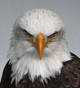 Barbara McMahon - Bald Eagle Stare