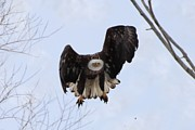 Lori Tordsen - Bald eagle with wings up and partially out