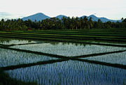 Jerry McElroy - Bali Rice Paddies