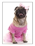 Edward Fielding - Ballerina Pug Dog