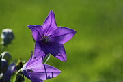 Balloon Flower Photo Metal Prints - Balloon Flower Metal Print by James Hammen