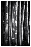 Bamboo Forest Framed Prints - Bamboo Framed Print by John Rizzuto