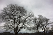 Appleton Prints - Bare Trees at Appleton Print by David Stone