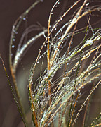 Beads Of Water On Sea Grass Fine Art Print by Artist and Photographer Laura Wrede