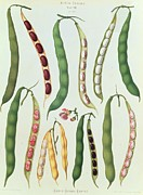 Vegetables Drawings Framed Prints - Beans Framed Print by Ernst Benay