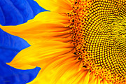 Beautiful Image Posters - Beautiful Bold Sunflower Poster by Christina Rollo