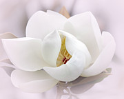 Macro Art Posters - Beautiful Magnolia Bloom Poster by Sabrina L Ryan