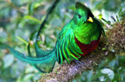 Fauna Photo Metal Prints - Beautiful Quetzal 4 Metal Print by Heiko Koehrer-Wagner