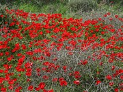 Tracey Harrington-Simpson - Beautiful Red Wild Anemone Flowers In A...
