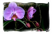 Julie Palencia - Beauty in Orchids