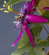 Anne Rodkin - Bee In Passion Flower