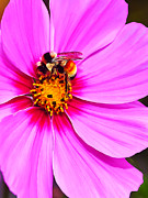 Photo Manipulation Metal Prints - Bee on Pink Metal Print by ABeautifulSky  Photography