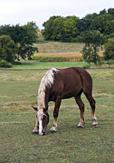 Belgian Draft Horse Photos - Belgian Draft Horse 2 by Gerald Marella