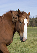 Belgian Draft Horse Photos - Belgian Draft Horse 6 by Gerald Marella
