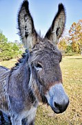 Donkeys Prints - Bet He Gets Good Reception Print by Jan Amiss Photography