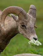 Natural Focal Point Photography - Bighorn Sheep Headshot in Glacier