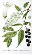 Wild-flower Drawings Posters - Bird Cherry Cerasus padus or Prunus padus Poster by Anonymous