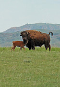 Calf Mixed Media - Bison and calf. by Frank  Vargo