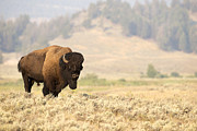 Bison Originals - Bison Bull by Deby Dixon