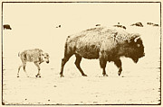 Mancave Photos Prints - Bison Mother and Calf Print by Melany Sarafis