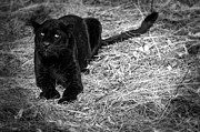 Panther Art - Black on Black Leopards by Robert Weiman