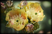 Saija  Lehtonen - Blind Prickly Pear Cactus