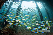 Arborek Island Framed Prints - Blue And Yellow Fusilier Fish Gather Framed Print by Steve Jones