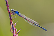 Dragon Fly Posters - Blue Damsel fly Poster by Todd Bielby