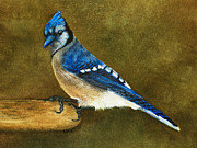 Nan Wright Prints - Blue Jay Print by Nan Wright