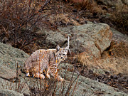Rocky Mountain National Park Posters Prints - Bobcat on a Rock Print by James Futterer