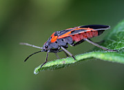 Juergen Roth Art - Boxelder Bug by Juergen Roth