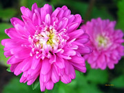 Centered Digital Art - Bright Pink Zinnia Flowers by Christina Rollo