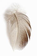 Steve Purnell - Bronze Mallard Feather 3