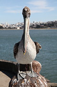Wingsdomain Art and Photography - Brown Pelican At The Torpedo Wharf...