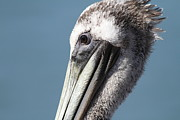 Wingsdomain Art and Photography - Brown Pelican in Profile 7D21771