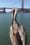 Wingsdomain Art and Photography - Brown Pelican Overlooking The San...