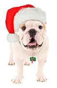 Doggy Cards Prints - Bulldog Santa Print by Jt PhotoDesign
