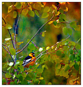 Oriole Digital Art Posters - Bullocks Oriole in Aspen Tree Poster by Barbara Chichester