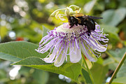 Passiflora Framed Prints - Bumble Bee on Purple Passion Flower Framed Print by Adam Long
