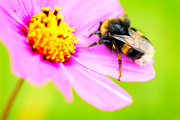 Stinger Prints - Bumblebee on lovely flower Print by Tommy Hammarsten