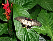 Judy Minderman Metal Prints - Butterfly close up in the greenhouse Metal Print by Judy Minderman