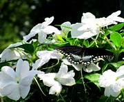 Impatiens Flowers Photos - Butterfly On White by Randall Weidner